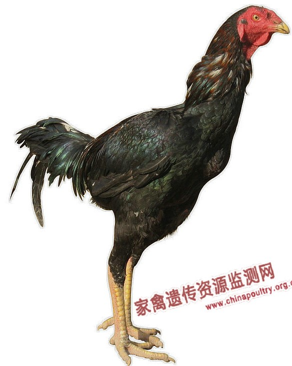 Turpan Game Chicken cock