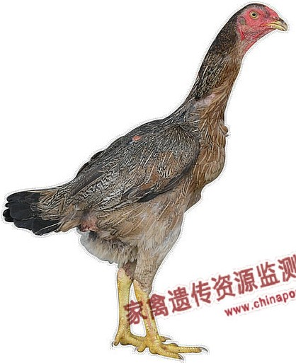 Zhangzhou Game Chicken  hen