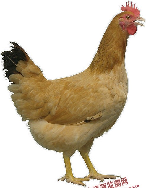 Rugao yellow chicken hen