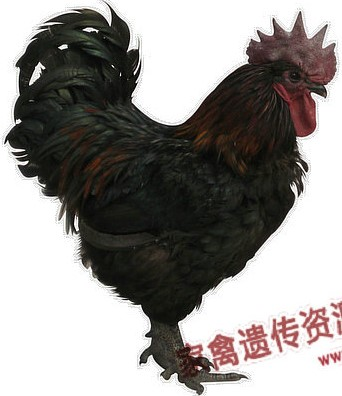 Bamboo Township Chicken cock