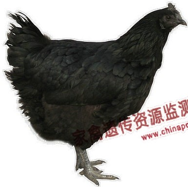 Bamboo Township Chicken hen