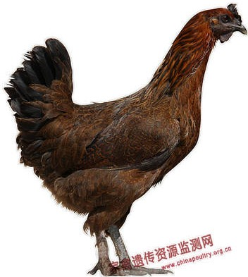 Wuliangshang Silky Chicken  hen