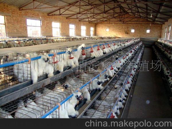 Выращивание кур породы Китайский шелковый абориген на китайской ферме
