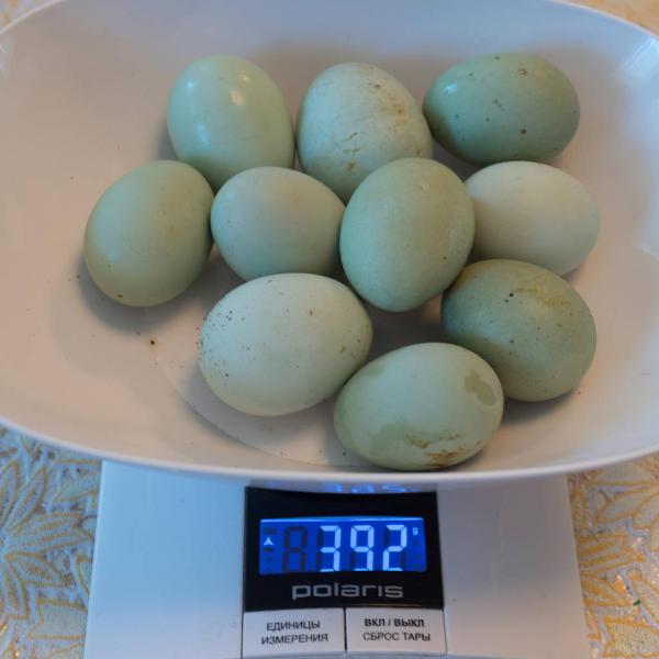 Фото яиц кур породы Ухейилюй