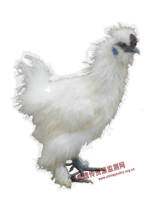 Китайские шелковые аборигены (乌鸡 Ву Цзи)  - Страница 18 %E4%B8%9D%E7%BE%BD%E4%B9%8C%E9%AA%A8%E9%B8%A1-%E5%85%AC